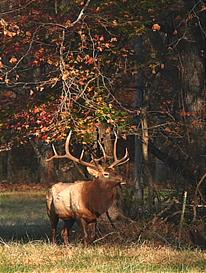 Monarch Bull Elk