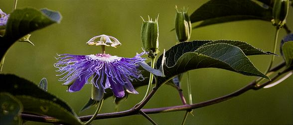 Passion Flower,  Ponca Wilderness