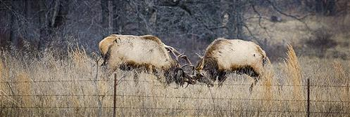 fighting bull elk, boxley valley