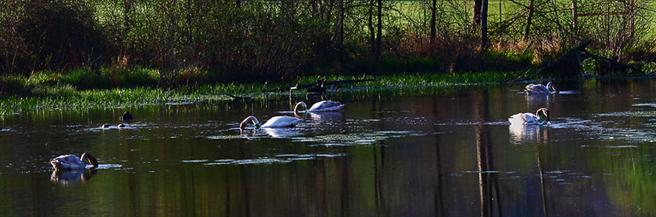 Trumpeter Swans in Boxley Valley